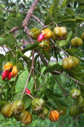 Lignum Vitae Seed Pods