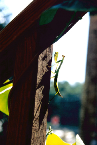 Praying Mantis on Porch Post by Debra Cortese