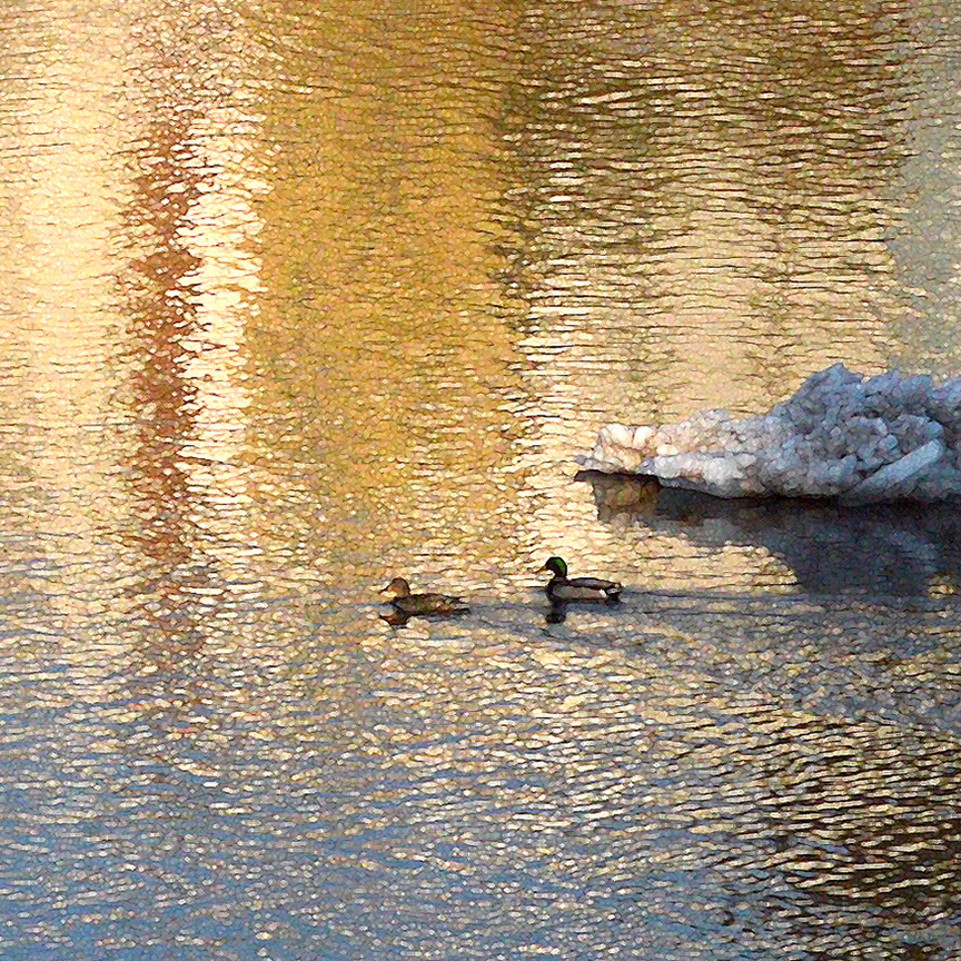 Ducks return to a Golden Big Eddy - Delaware River, Narrowsburg NY - photo by Debra Cortese