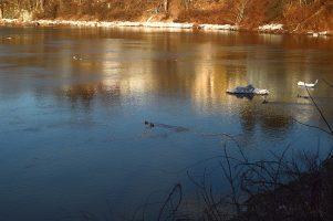 ducks return to Big Eddy 01
