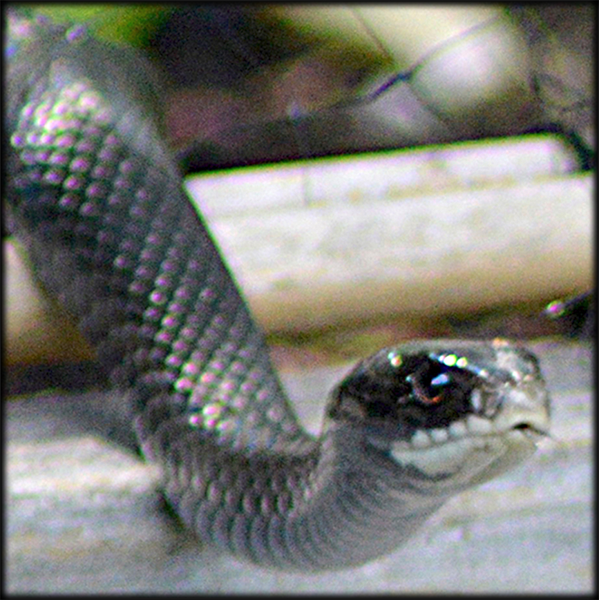 Black Garden Snake- Debra Cortese photo