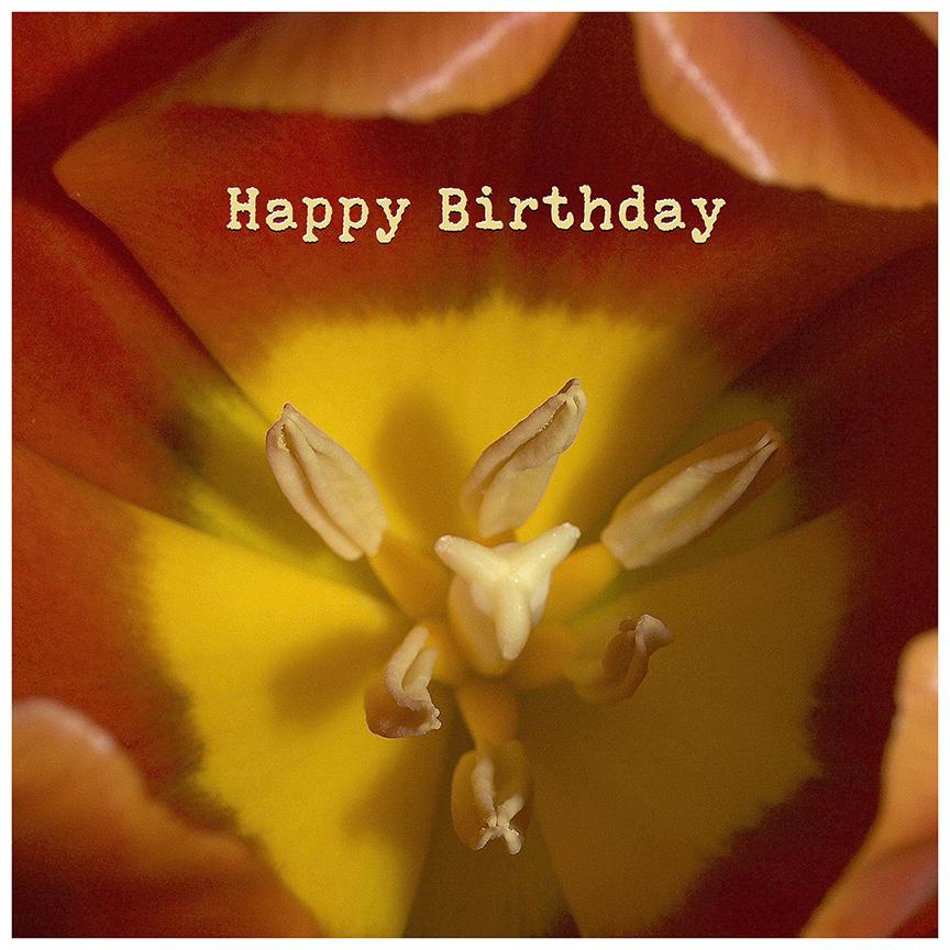 Closeup Orange Yellow Tulip Happy Birthday image by Debra Cortese ©2017