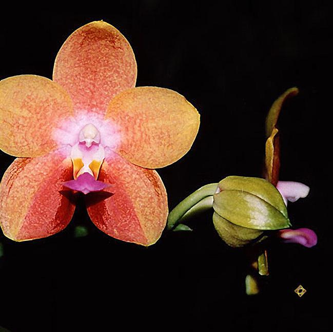 Magenta Peachy Orchid orig image by Debra Cortese Designs